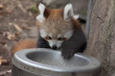 Red Panda cub @ Philly Zoo (2048×1365)