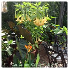 Brugmansia blooms are strongly scented in evenings and early mornings as they are pollinated at night. Blooms on new growth n this one was over wintered, not cut back.