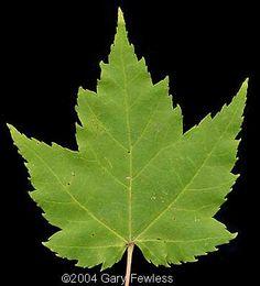 red maple (Acer rubrum) leaf
