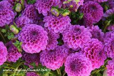 Purple Pom Pom Dahlias #purple #balls #lovelife #skylineflowers #flowers #farmersmarkets