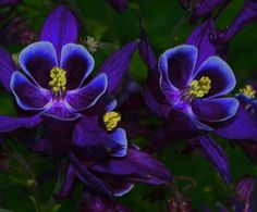 "columbine+flower   Columbine Flowers"" by Parvathy, via 500px.   Flowers"