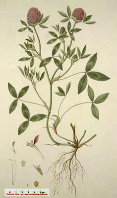 Rødkløver, fra Flora Danica- Rauðsmári -Trifolium pratenses