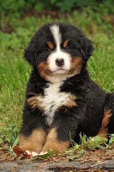 Dixon was the cutest puppy ever! Bernese Mountain Dog #BerneseMountainDog