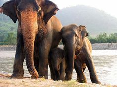 Many volunteer opportunities at Northern Thailand's Elephant Nature Park