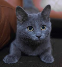 "Russian Blue Cats Kittens ""I put the 'blue' in 'Russian blue. Cute Kittens, Cats And Kittens, I Love Cats, Cool Cats, Russian Blue Cat Personality, Russian Blue Kitten, Gatos Cat, Grey Cats, Grey Kitten"