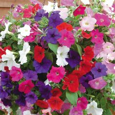 cascading petunia | Petunia 'Cascading Mixed' - Annual Plants - Thompson & Morgan