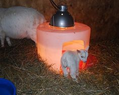 This is a great idea to keep those goat kids nice and warm:)  #homefarmideas #idea #diy #chicken #chickens #farm #gardening #farms #farmers #farming #farmlife #garden #gardens #gardening #gardeners #mygarden #organic #organicfood #organicgardening #organics #grow #growth #growing #homestead #homesteading #livestock #plant