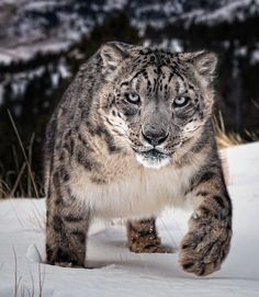 That Eye Contact.... - snow leopard