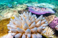 To save coral reefs around the world, global temperatures need to level off or decline, according to a new study of the Great Barrier Reef (GBR) over the past 20 years. Warming waters are the key. Coral Bleaching, Save Our Earth, Sea Anemone, Great Barrier Reef, Under The Sea, Climate Change, Sea Shells, The Past, Around The Worlds
