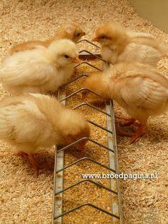 www.broedpagina.nl Chicks - Kuikens - Hens - Roosters - Kippen - Hanen - Breeding - Broeden