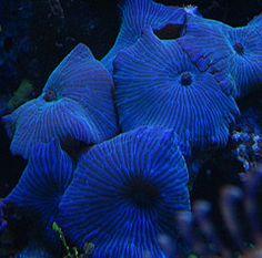 Sunday Invertebrates - Discosoma Mushroom Corals