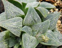 Haworthia pygmaea - 'Crystallina'