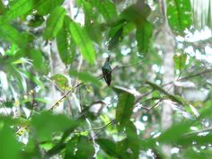 Foto topázio-de-fogo (Topaza pyra) por Robson Czaban | Wiki Aves - A Enciclopédia das Aves do Brasil