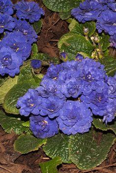 Vivid blue flowers of perennial Primula Belarina Cobalt Blue - zone 8