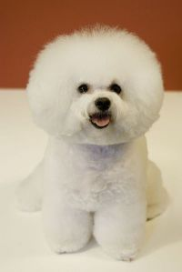 Bichon Frise  Had one of these, buffy