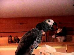 African Grey whistles.MPG