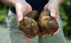 Kartoffel-Anbau auf Balkon und Terrasse -  Kartoffeln sind ein äußerst vielseitiges und gesundes Gemüse. Mit dieser Anbaumethode gelingt selbst auf dem Balkon eine reiche Kartoffel-Ernte.