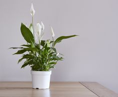 peace lily plant corner air purifying house plants clean air plants plants healthy air air purifier houseplants indoor plants plants decor home decor interior style plant corner nordic style scandinav Indoor Plants Low Light, Best Indoor Plants, Cool Plants, Air Plants, Bamboo Plants, Shade Plants, Outdoor Plants, Garden Plants, Peace Lily Care