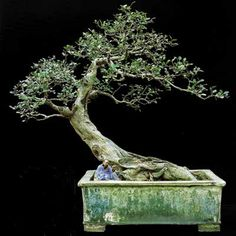 Like a protecting roof this penjing arches over the scholar reading a book. A very harmonic composition! The pot is exceptional, with its age of almost 150 years. The glaze of the pot reminds us of the impermanence of things