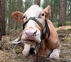 Yvonne, a six-year-old slaughter-bound cow, fought for her freedom by escaping from a German farm and running for her life.