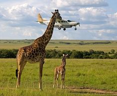perfectly-timed-photos-giraffe-airplane - Runt Of The Web