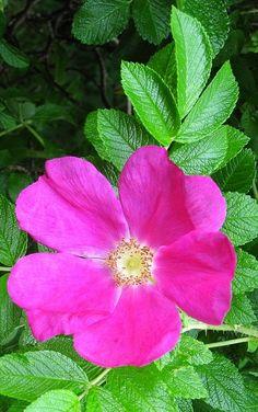 Rosa Rugosa Scabrosa, or Rosa Pomifera, or Apfel Rosen