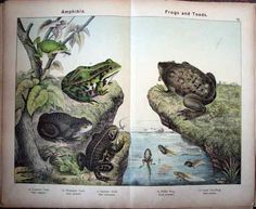 frogs and toads print - Google Search