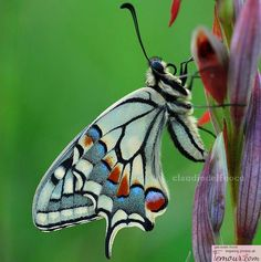 Papilio machaon beautiful-butterflies-moths-and-more Papillon Butterfly, Butterfly Kisses, Butterfly Wings, Butterfly Colors, Butterfly Photos, Flying Insects, Bugs And Insects, Beautiful Bugs, Beautiful Butterflies