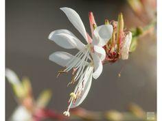 Tato trvalka se řadí k těm nejpilněji kvetoucím rostlinám, dorůstá výšky až 80 cm a kvete dlouhými latami růžově bílých květů. Listy má protáhlé, zelené. Plants, Plant, Planets