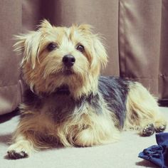 #dog #norfolkterrier #pup #cutie #dogsitting #animales #instagramdogs #terriers #dogsofinstagram #pets_of_instagram #pet #blackandtan #puppylove #lovedogs #doggy #ilovedogs #ilovedog #instagood #cute #life #love #instapet #dailydog #instapuppy #happy_pet #dogsofig #pets