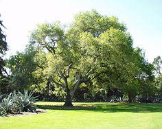 Coastal Live Oak - Tree Foundation of Kern: About the Tree ...