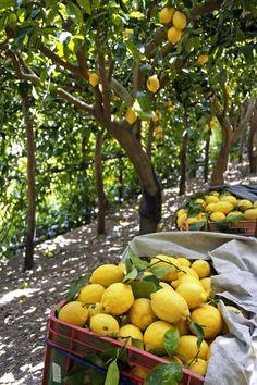 When life gives you lemons...you must be in a lemon tree grove in Amalfi. Photo Credit: Alamy Lemon Farm, Limes, Lemon Lime, Lemon Yellow, Limoncello, Sorrento, Amalfi Coast, Fruit Trees, Country Life