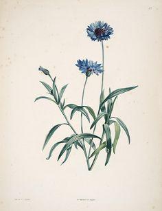 La botanique de J.J. Rousseau :. Paris :Delachaussée,XIV, 1805.. biodiversitylibrary.org/page/6164733