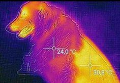 Questa thermofoto mostra la temperatura del pelle di un cane parzialmente rasato. 24 c dove il pelo è lungo e 308 c dove è rasato.... Il pelo ha una funzione isolante e rasarlo completamente non aiuta il cane ad avere piu fresco....