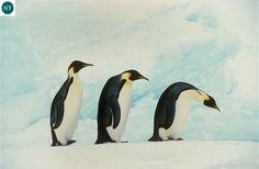 https://www.facebook.com/WonderBirdSpecies/ Emperor penguin (Aptenodytes forsteri); Endemic to Antarctica; IUCN Red List of Threatened Species 3.1 : Near Threatened (NT)(Loài sắp bị đe dọa) || Chim Cánh cụt Hoàng đế; Loài đặc hữu châu Nam cực; HỌ CHIM CÁNH CỤT - SPHENISCIDAE (Penguins).