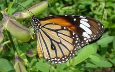 Widescreen Wallpaper: butterfly