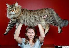Supergato de 9 quilos pode ganhar título de maior do mundo. Eu quero!