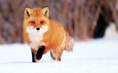 Обои зима, снег, Лис, лиса