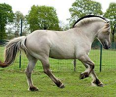 Fjord stallion Croquette. Grå or grulla. photo: Mieke Wind Fotografie.