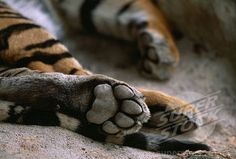 tiger hind paw