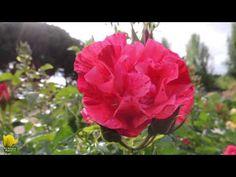 Vídeo de la rosaleda Ramón Ortíz en el Parque del Oeste de Madrid, donde se celebra el concurso anual de rosas.