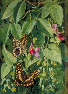 Marianne North - Two Climbing Plants of St John's and Butterflies (c.1882)