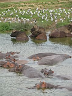 Hippos, buffaloes and birds galore in the Kazinga Channel, Queen Elizabeth National Park, Uganda by Africa Wild Explorations For safari book...