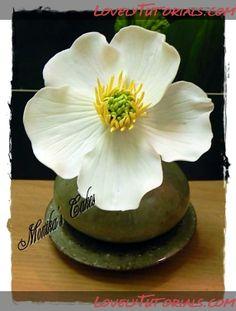 Ranunculus glacialis (glacier crowfoot or glacier buttercup) flower Tutorial