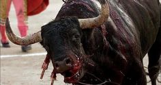 The truth about Corrida. He will attempt to kill the bull with a sword but it usually only results in injuring him and resulting in more pain and blood loss. Stop Bulling, Thank You For Caring, Stop Animal Cruelty, Animal Testing, Together We Can, Animal Welfare, Animal Rights, The Voice, Things To Think About