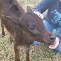 Gif Animation The calf loves petting Funny Animal Clips, Funny Animal Videos, Animals And Pets, Funny Animals, Cute Animals, Animal Antics, Little Critter, All Gods Creatures, Love Pet