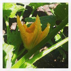 """@onzesuus's photo: """"Joehoe! De eerste bloem.  #moestuin #courgette #groenten #eten #kweken"""""""