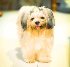 Shih Tzu Dog, Dog Breeds, Dogs And Puppies, Children, Animals, Young Children, Boys, Animales, Animaux