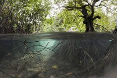 Split Image of Mangroves & Underwater Prop Root System; Photographic print by Reinhard Dirscherl.