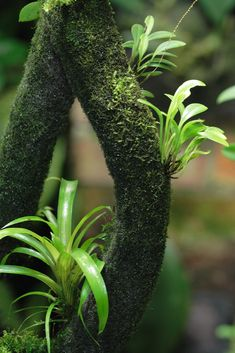 The start of an epiphyte garden on an EpiWeb Branch Fish Tank Terrarium, Terrarium Plants, Wall Climbing Plants, Epiphyte, Beautiful Landscape Wallpaper, Rare Orchids, Moss Garden, Vivarium, Air Plants